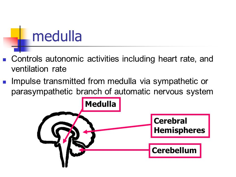 medulla Controls autonomic activities including heart rate, and ventilation rate.