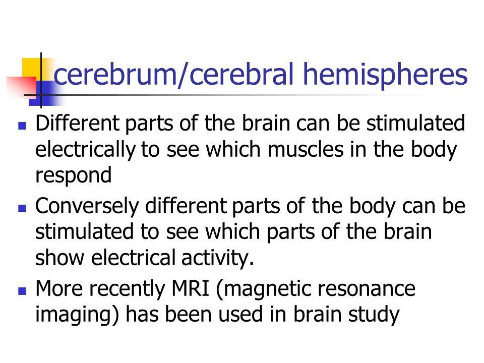 cerebrum/cerebral hemispheres