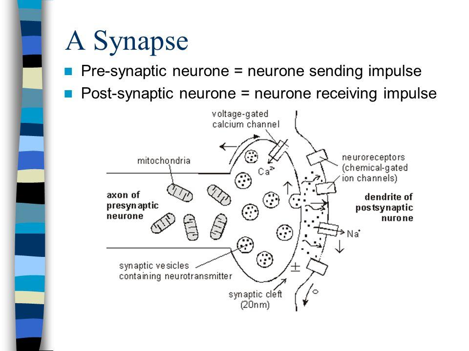 A Synapse Pre-synaptic neurone = neurone sending impulse