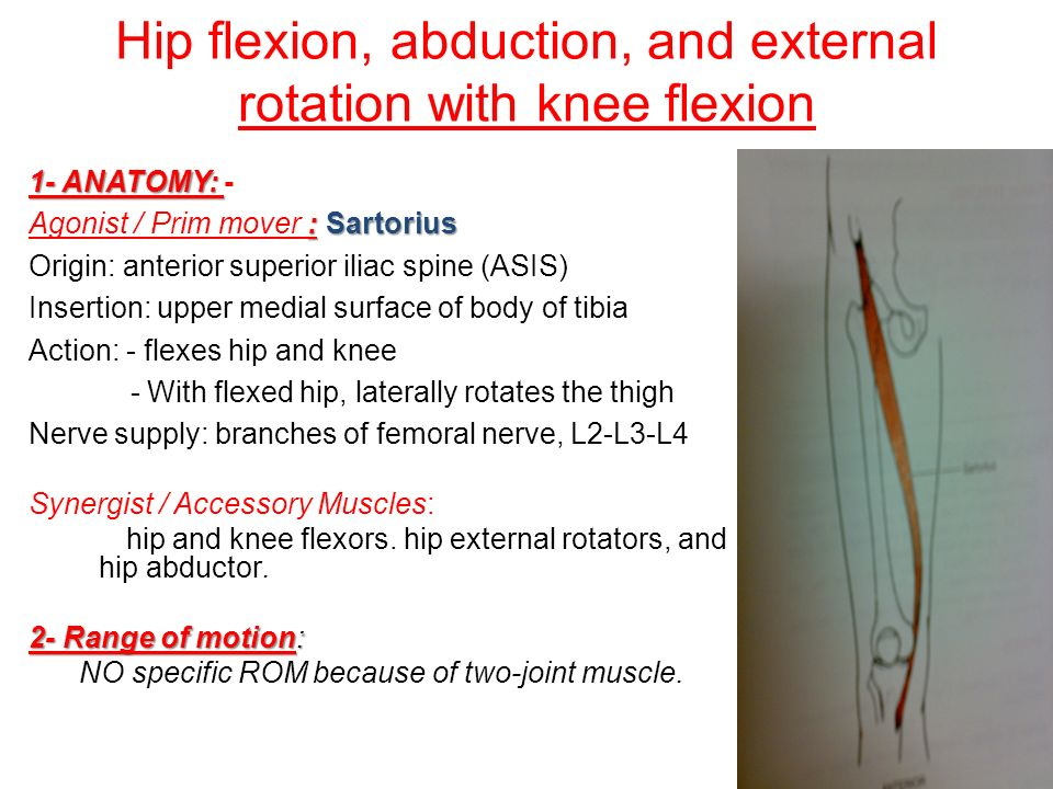 hip muscles dr. tamer emam. - ppt download, Muscles