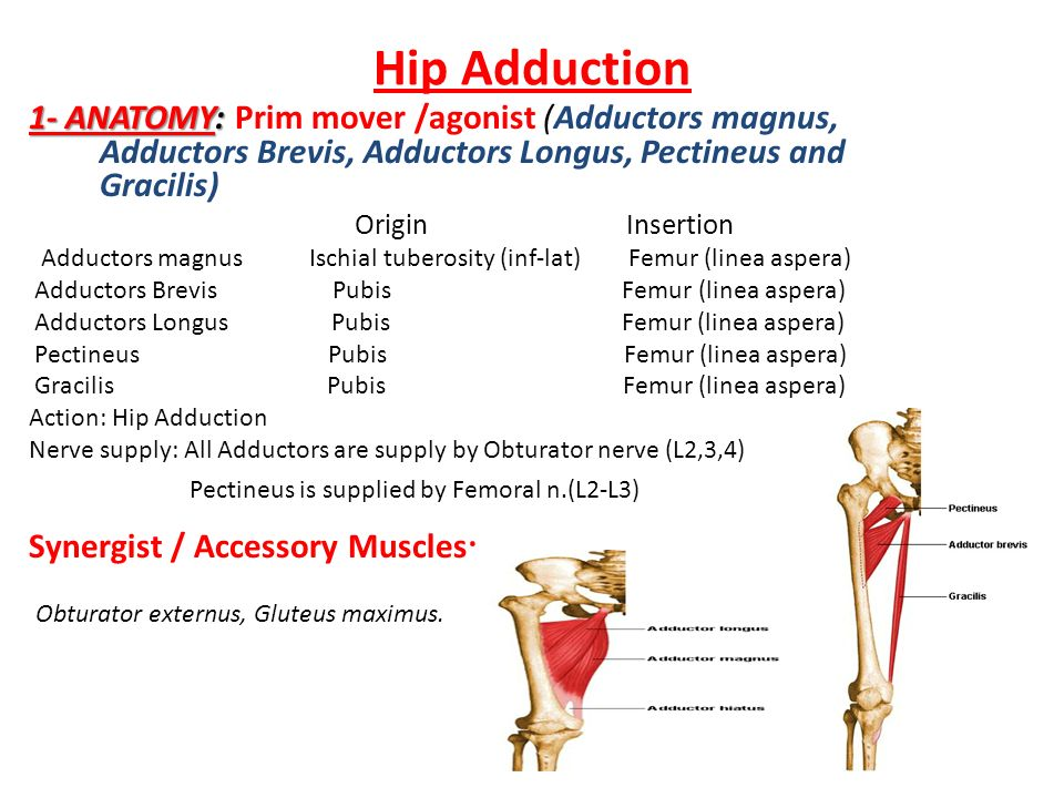 Hip adductor anatomy