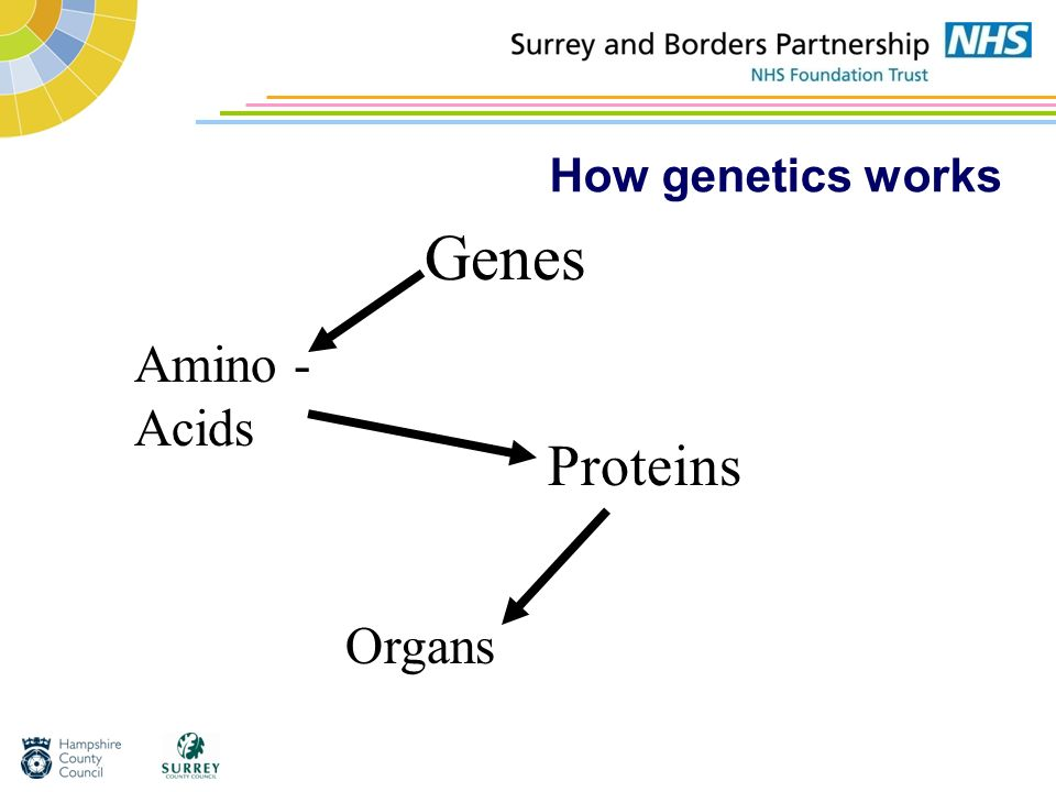 How genetics works Genes Amino - Acids Proteins Organs