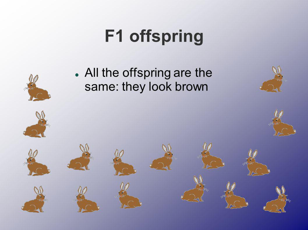 F1 offspring All the offspring are the same: they look brown