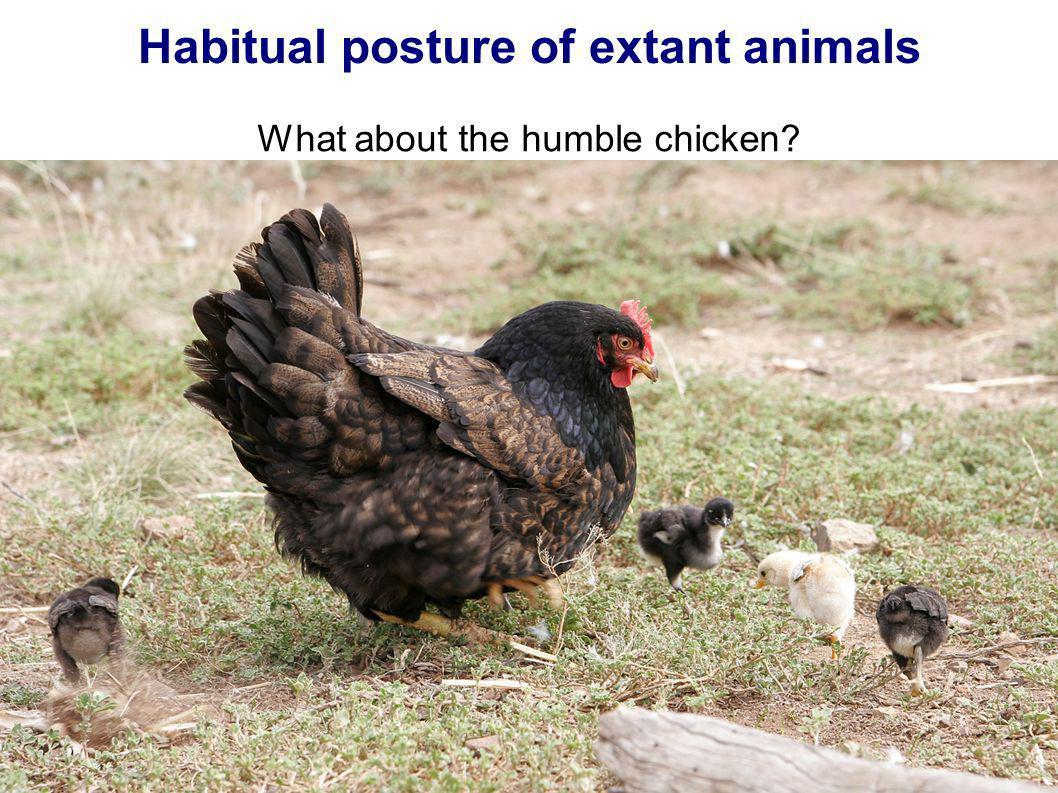 Habitual posture of extant animals