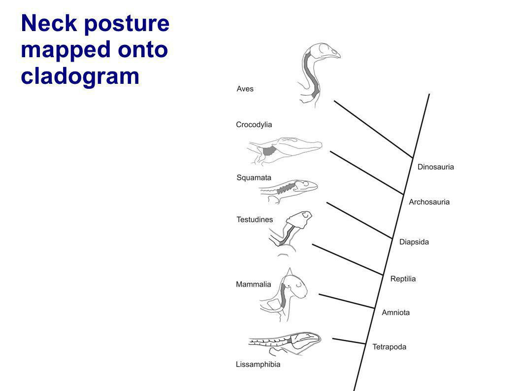 Neck posture mapped onto cladogram