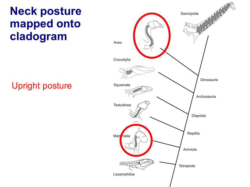 Neck posture mapped onto cladogram Upright posture