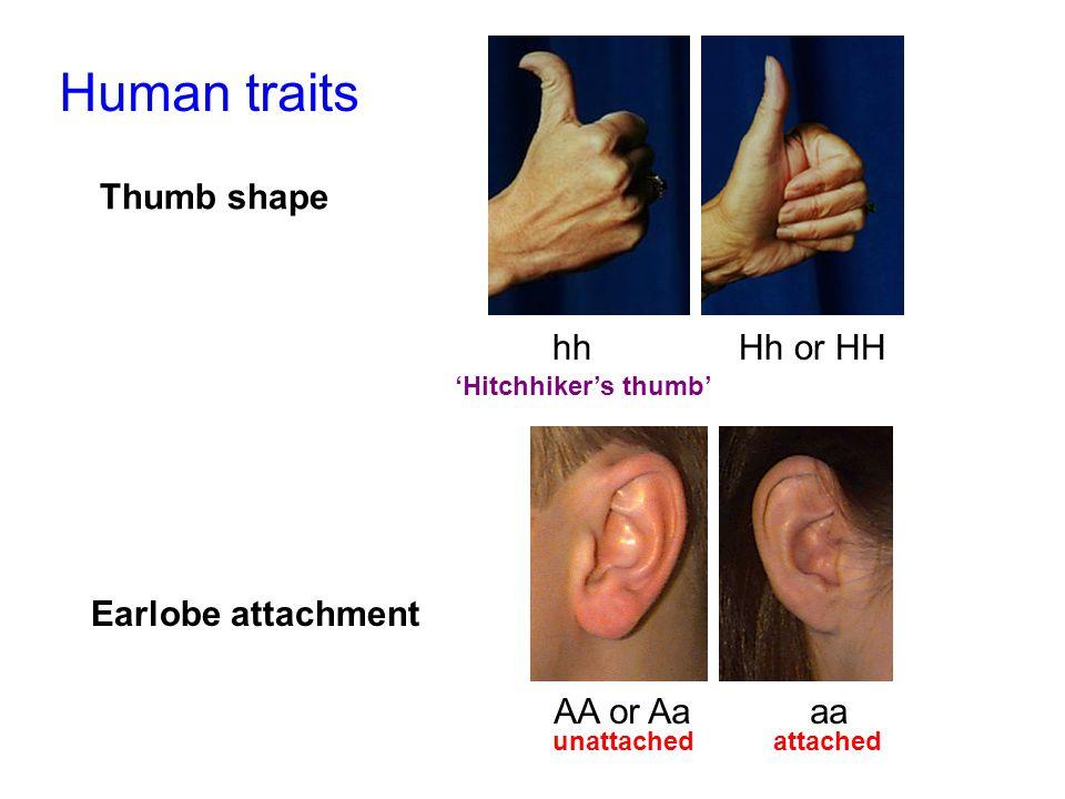 Human traits Thumb shape hh Hh or HH Earlobe attachment AA or Aa aa