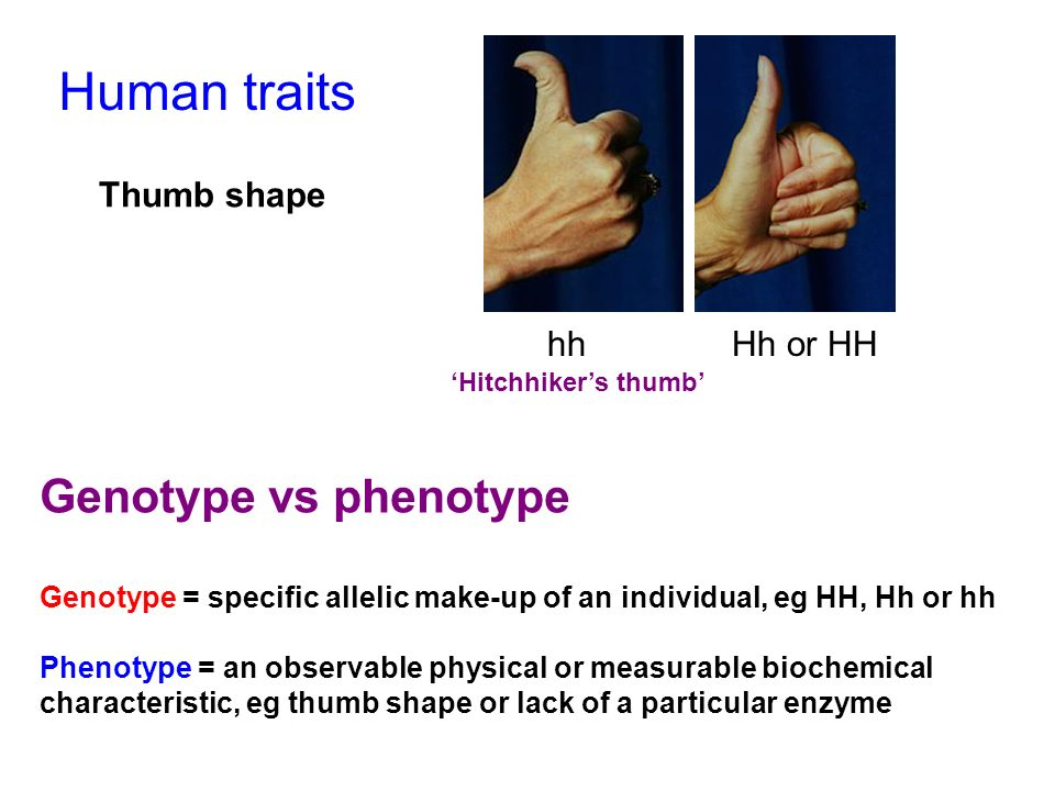 Human traits Genotype vs phenotype Thumb shape hh Hh or HH