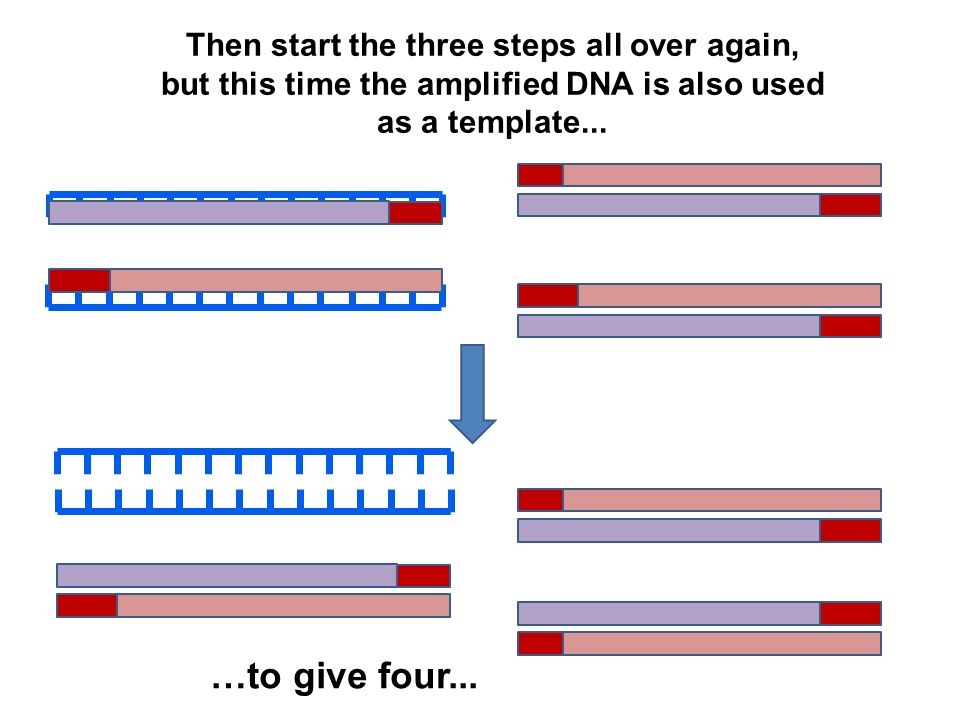 Then start the three steps all over again, but this time the amplified DNA is also used as a template...