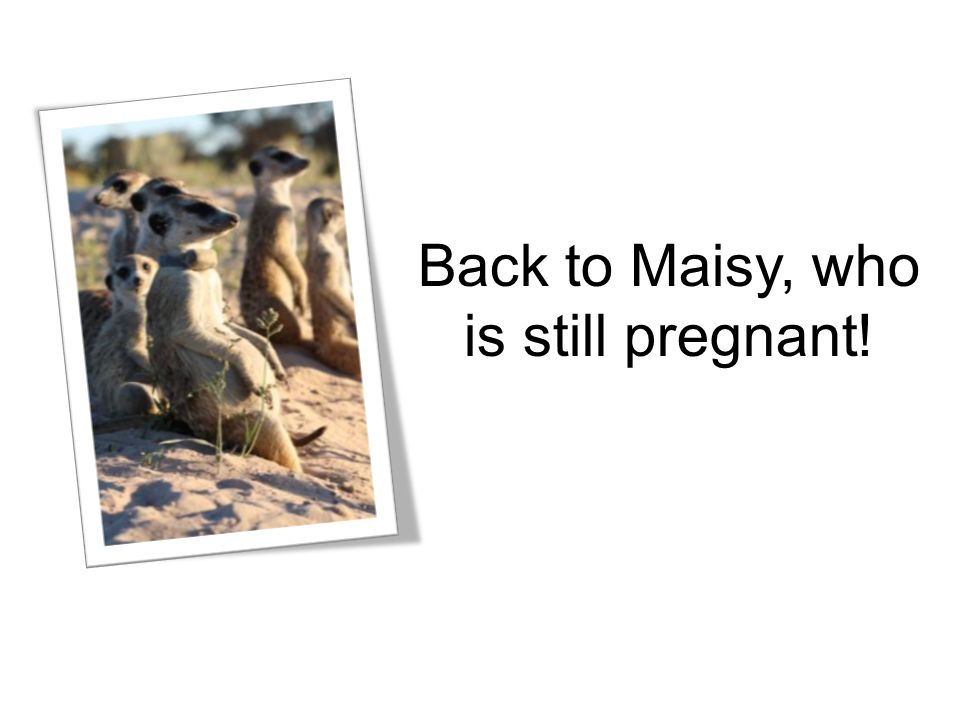 Back to Maisy, who is still pregnant!