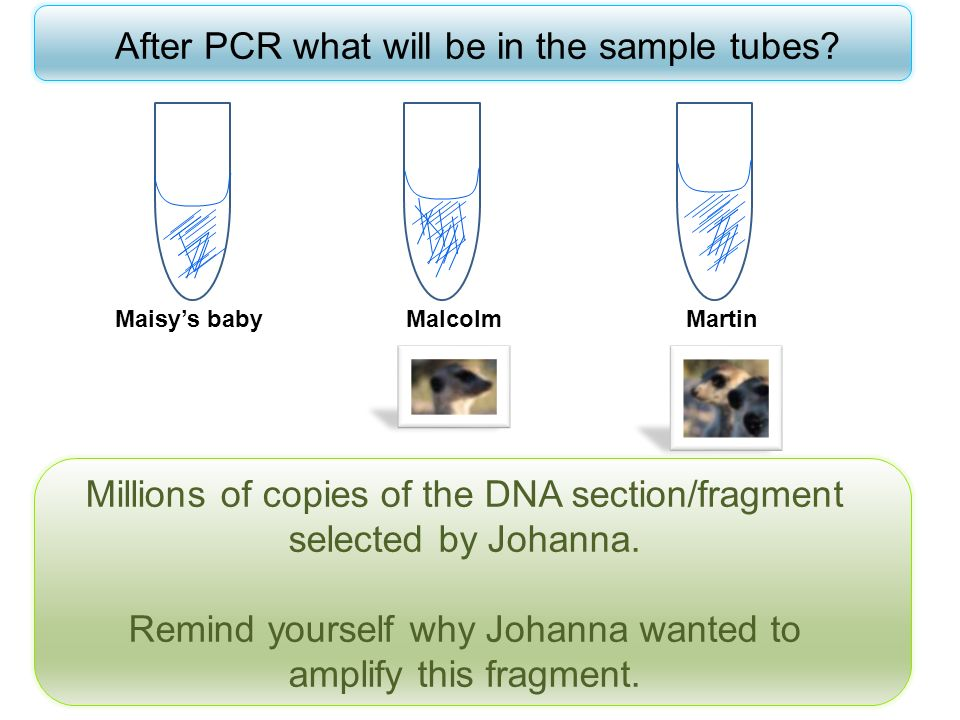 After PCR what will be in the sample tubes