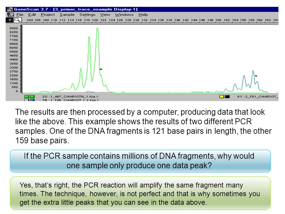 The results are then processed by a computer, producing data that look like the above. This example shows the results of two different PCR samples. One of the DNA fragments is 121 base pairs in length, the other 159 base pairs.