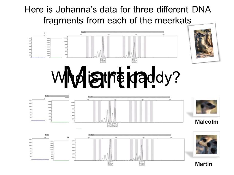 Here is Johanna's data for three different DNA fragments from each of the meerkats