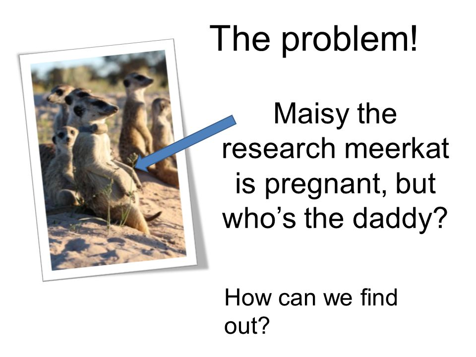 Maisy the research meerkat is pregnant, but who's the daddy