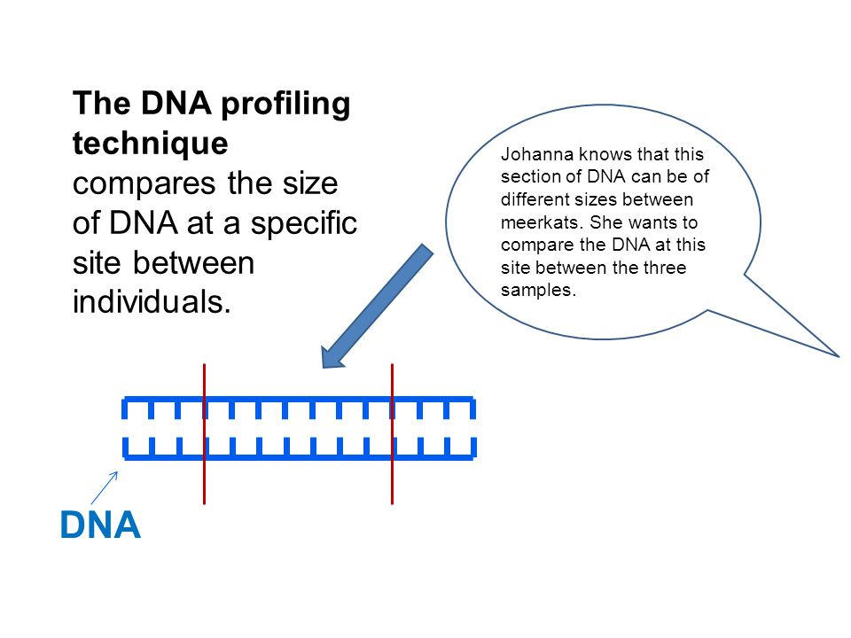 The DNA profiling technique compares the size of DNA at a specific site between individuals.
