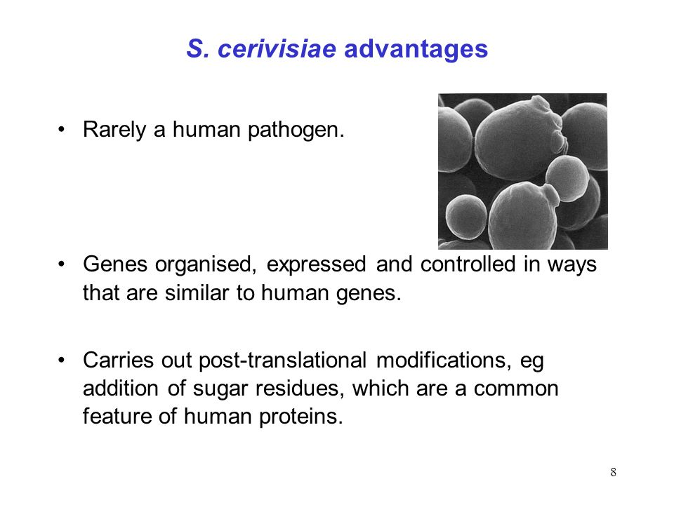 S. cerivisiae advantages