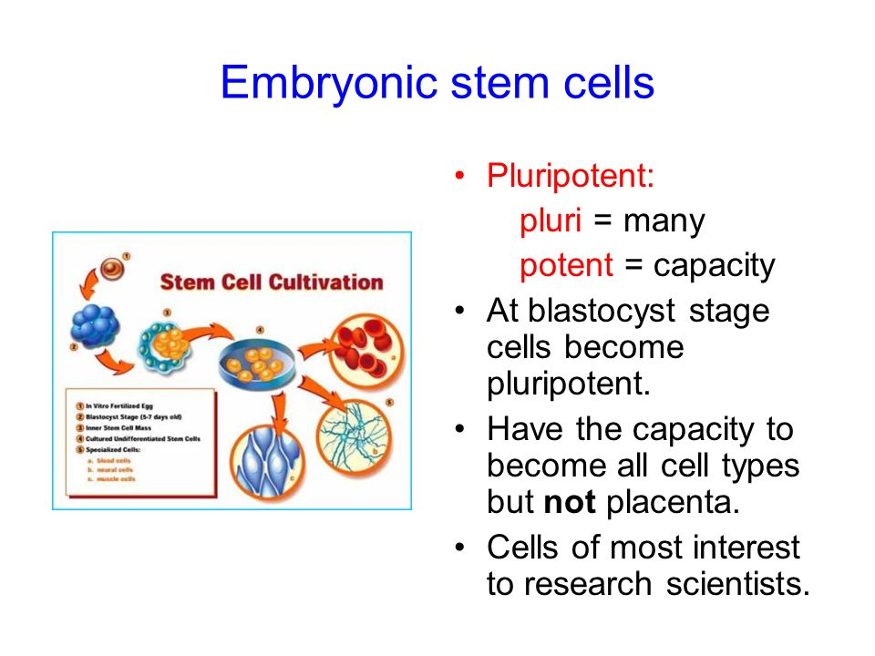 Embryonic stem cells Pluripotent: pluri = many potent = capacity