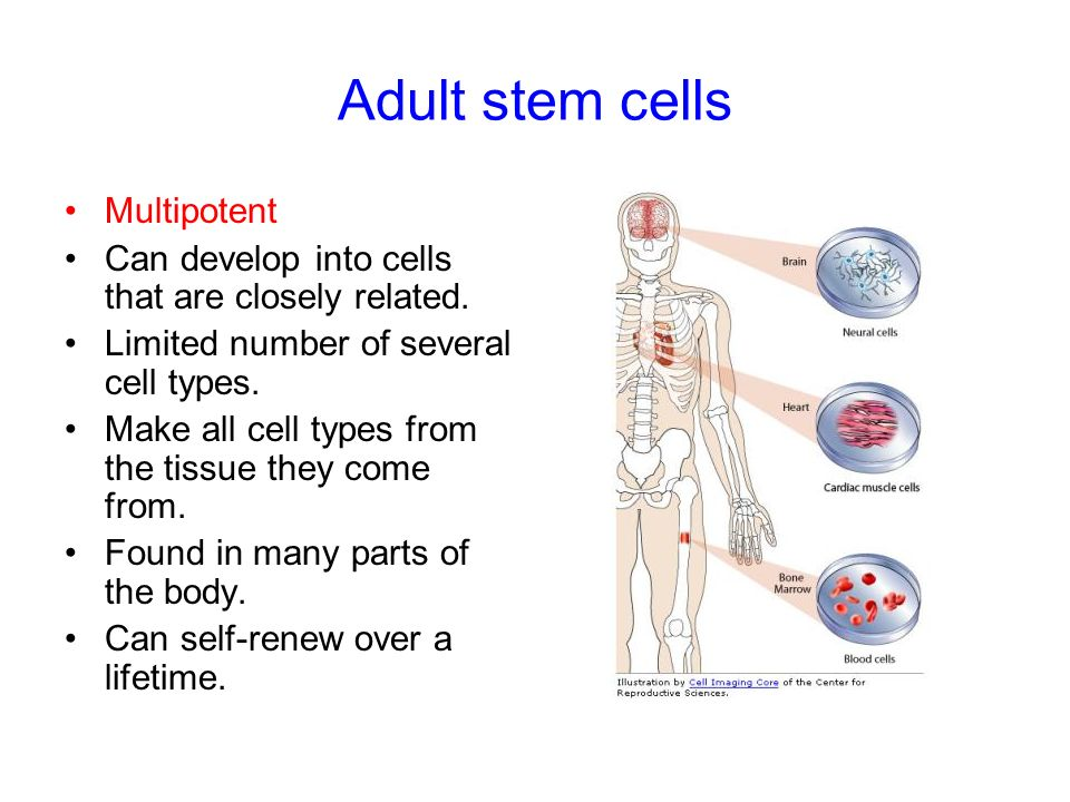 Adult stem cells Multipotent