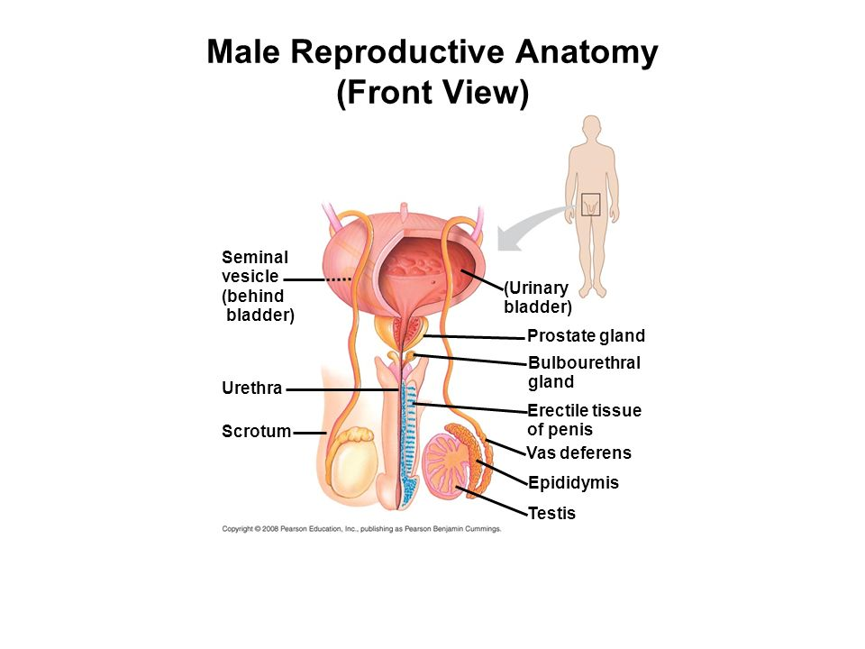 Male reproductive anatomy front view ppt video online download male reproductive anatomy front view ccuart Choice Image