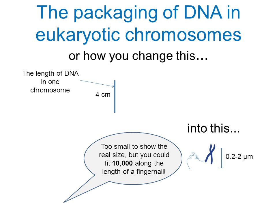 The length of DNA in one chromosome