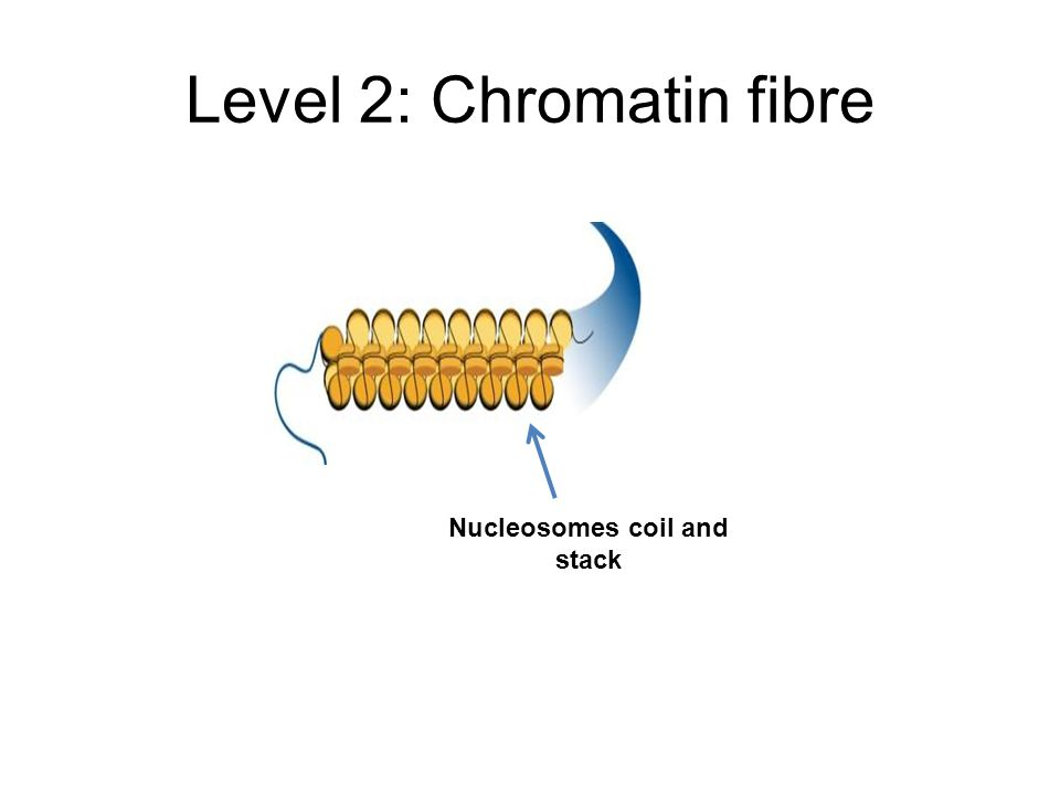 Level 2: Chromatin fibre