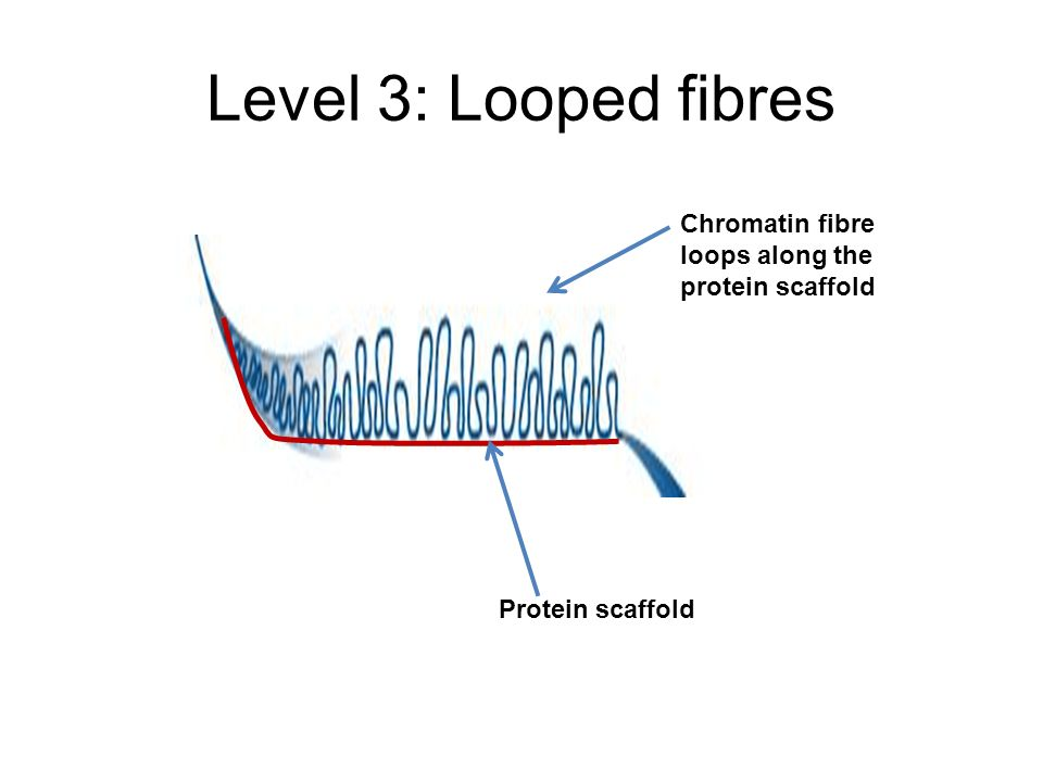 Level 3: Looped fibres Chromatin fibre loops along the protein scaffold Protein scaffold