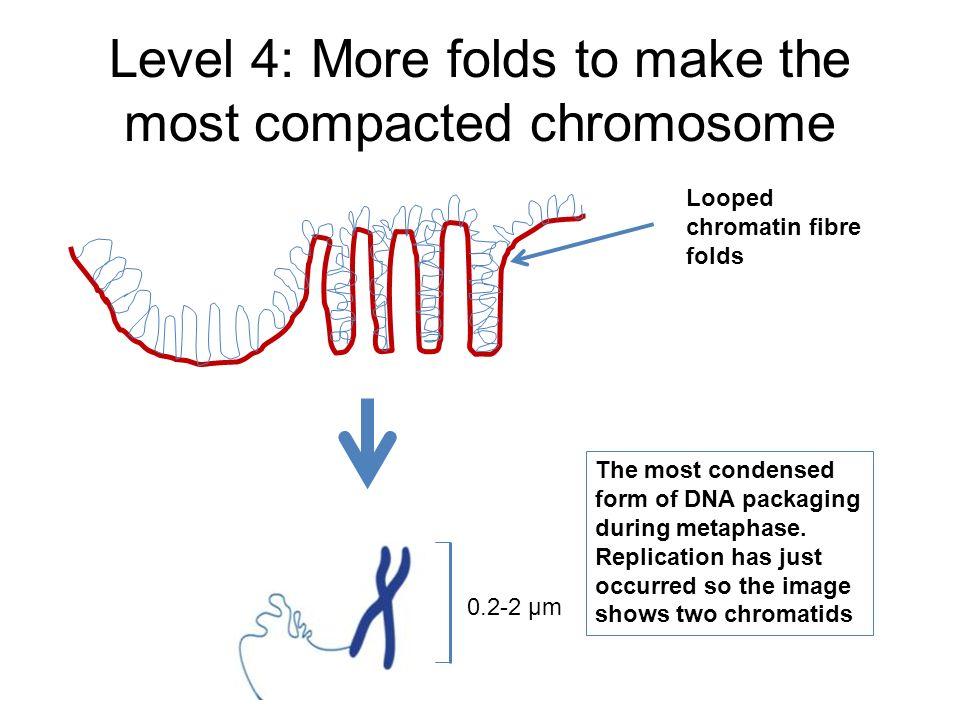 Level 4: More folds to make the most compacted chromosome