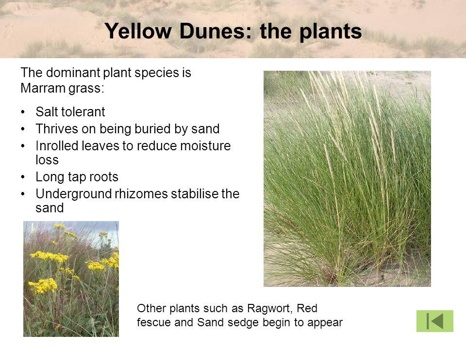 Yellow Dunes: the plants
