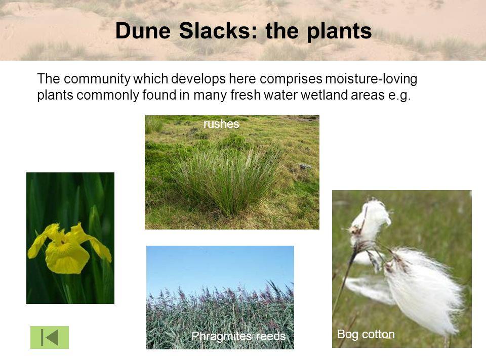 Dune Slacks: the plants