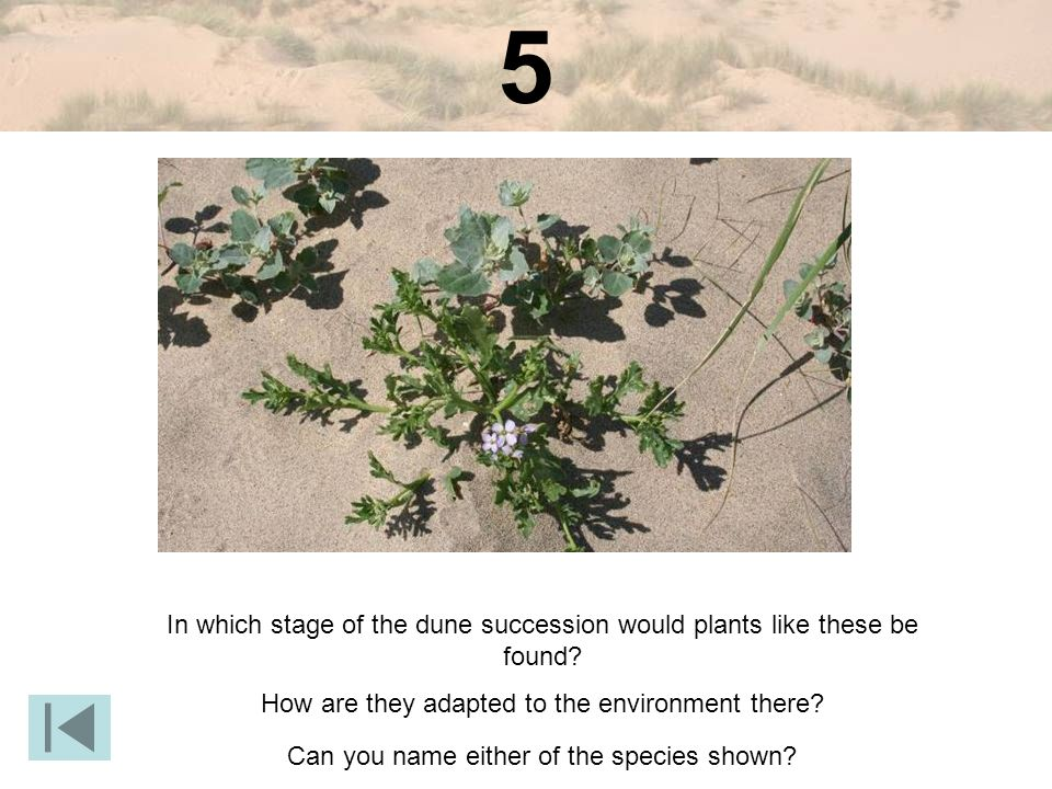 5 In which stage of the dune succession would plants like these be found How are they adapted to the environment there