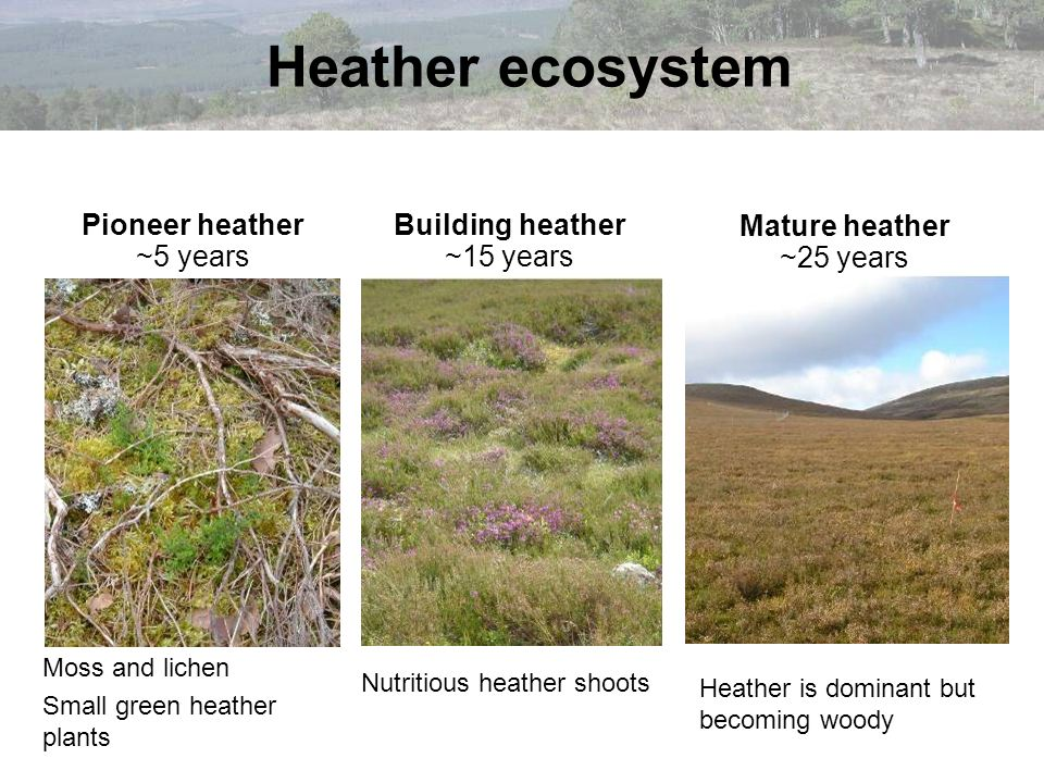 Heather ecosystem Mature heather ~25 years Pioneer heather ~5 years