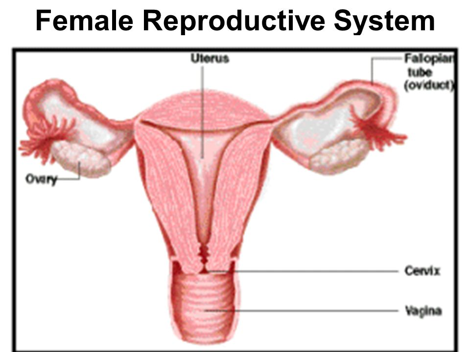 Human Reproductive System Ppt Video Online Download