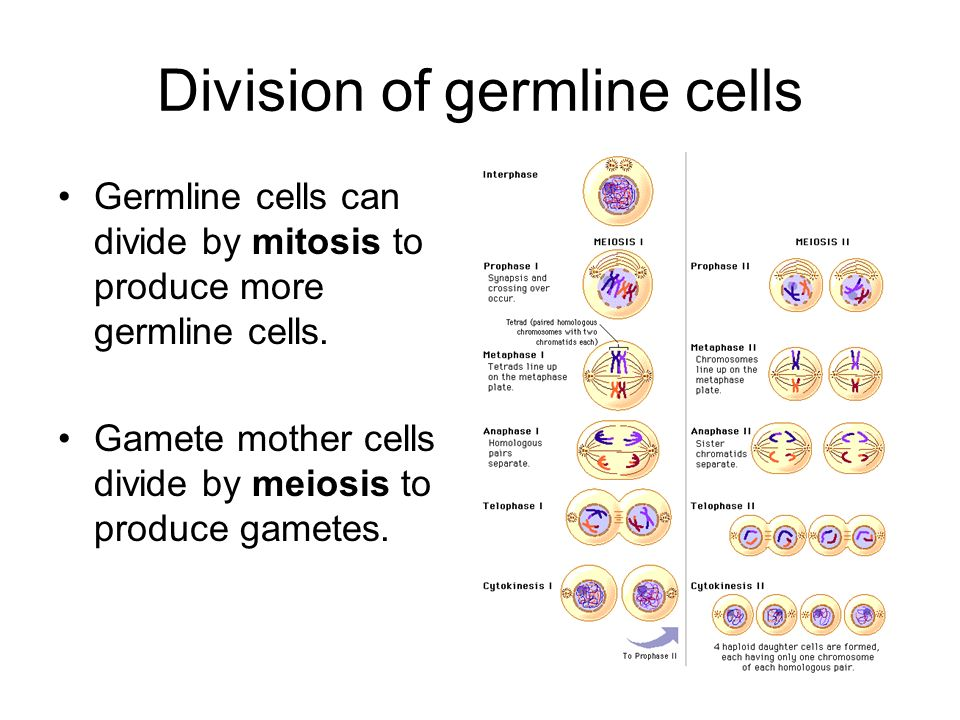 Division of germline cells
