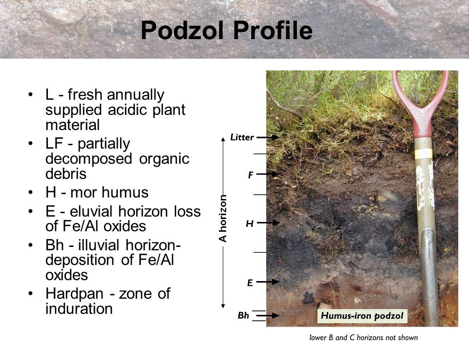 Podzol Profile L - fresh annually supplied acidic plant material