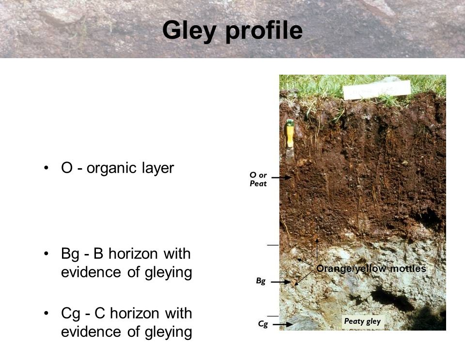 Gley profile O - organic layer Bg - B horizon with evidence of gleying