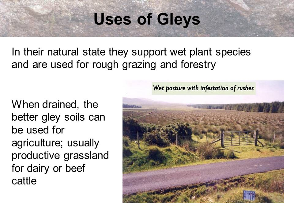 Uses of Gleys In their natural state they support wet plant species and are used for rough grazing and forestry.