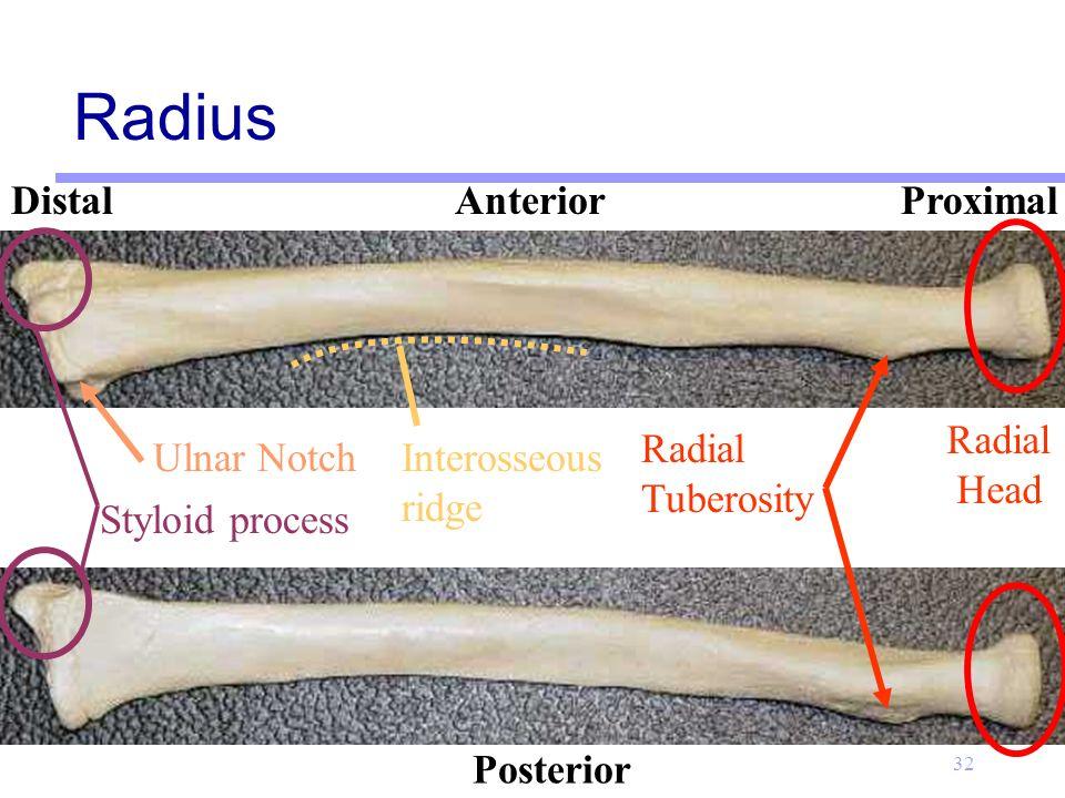 Ulnar Tuberosity Appendicular Skeleton ...