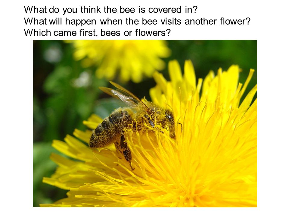 What do you think the bee is covered in