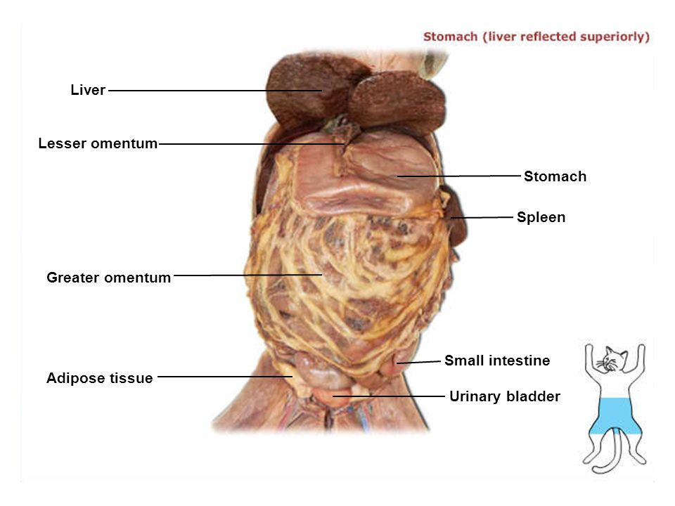 Lesser omentum anatomy