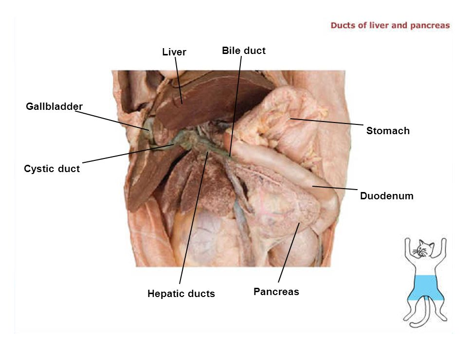 Anatomy Of The Gallbladder And Bile Ducts Gallery Human Body Anatomy