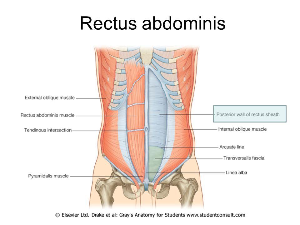 Abdomen Figure ppt video online download