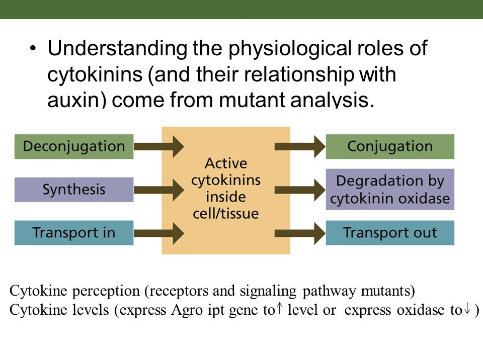 auxin and cytokinin relationship
