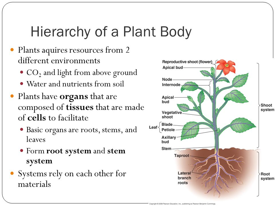 the plant body 35 most of the plant body is composed of (points: 2) dermal tissue root tissue ground tissue vascular tissue cork - answered by a verified tutor.