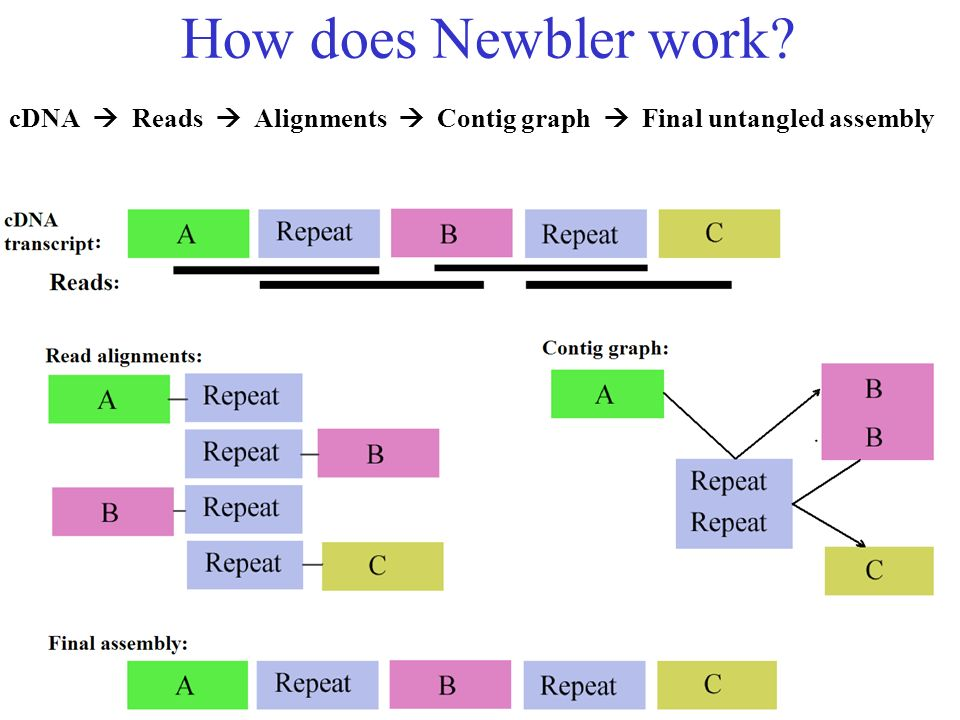 How does Newbler work cDNA  Reads  Alignments  Contig graph  Final untangled assembly