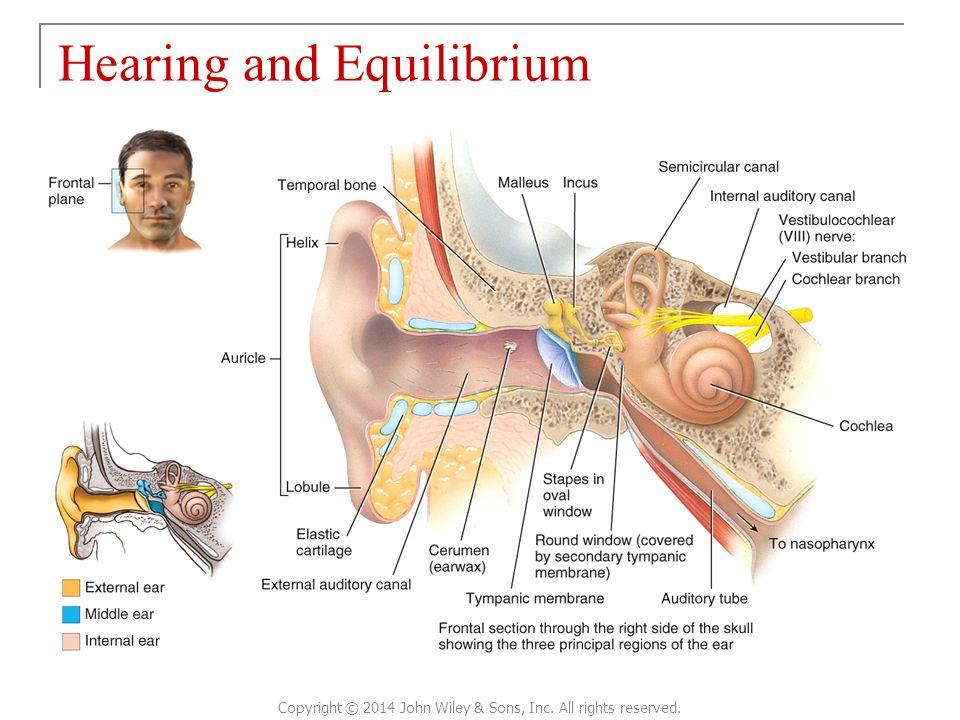 Wunderbar Tortora Anatomy And Physiology 14th Edition Fotos ...