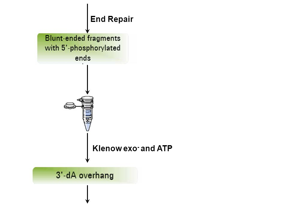 End Repair Klenow exo- and ATP