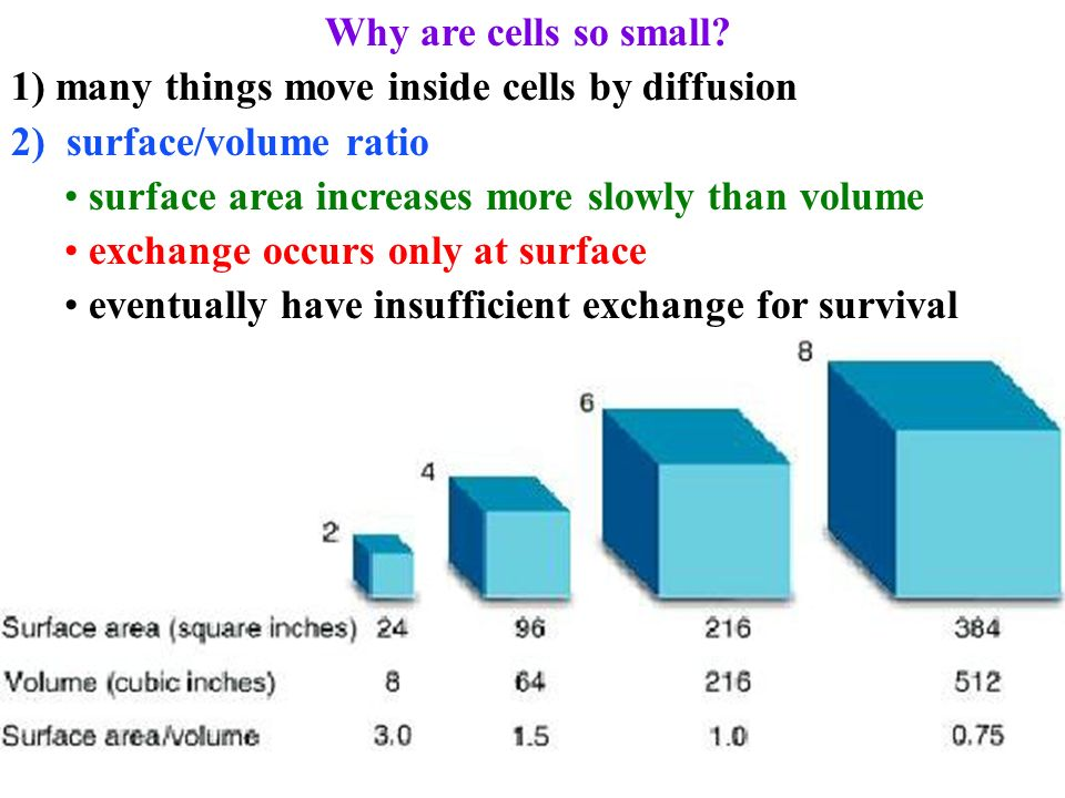 diffusion with surface area to volume ratio In conclusion, the potato cube with the highest surface area to volume ratio (the 1x1x1 cube) had the fastest rate of diffusion as it had the largest percentage increase in mass while all the other cubes of potato had larger increases in mass at face value compared to the smallest cube, the smallest cube had the largest overall gain in percentage.