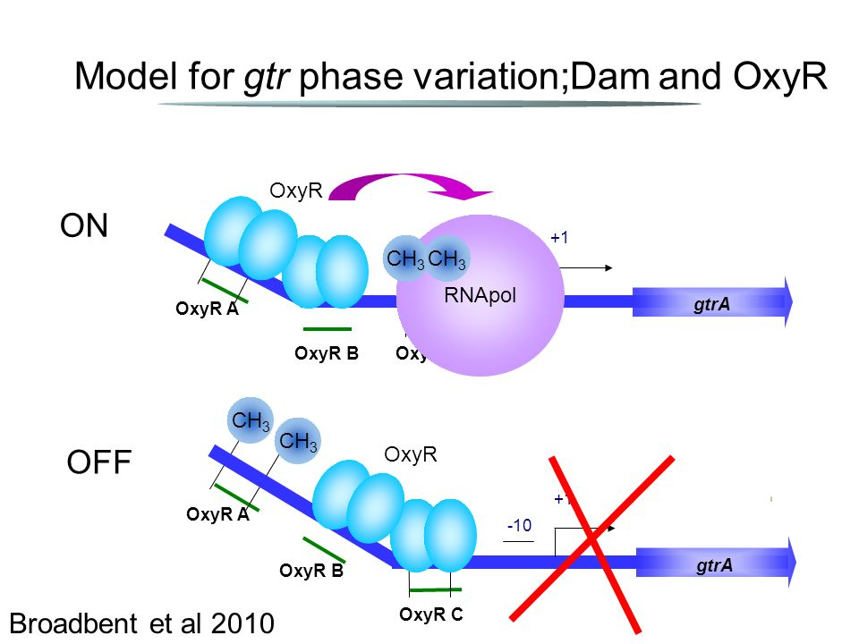 Model for gtr phase variation;Dam and OxyR