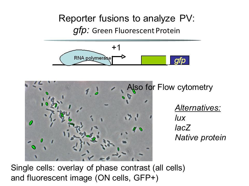 Reporter fusions to analyze PV: gfp: Green Fluorescent Protein