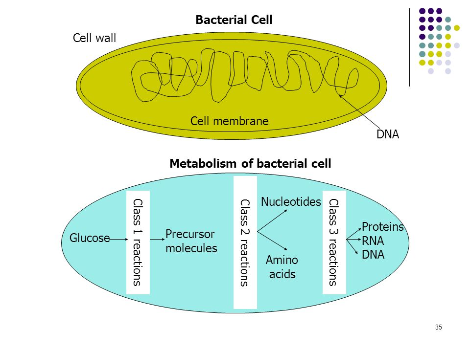 Metabolism of bacterial cell